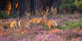 Group Of Red Deer Stock Photos