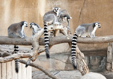 Free Group Of Ring Tailed Lemurs Royalty Free Stock Photography - 21693377