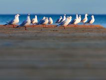 Free Group Of Seagulls Stock Image - 107165641