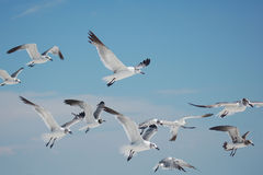 Free Group Of Seagulls Stock Image - 8274641