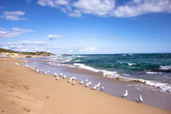 Free Group Of Seagulls Near Beach In Penguin Island In Perth,Western Australia Stock Photo - 98272040