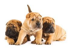 Group Of Sharpei Puppies Royalty Free Stock Photography
