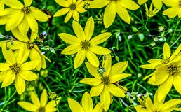 Free Group Of Small Yellow Flowers Blooming On The Ground In The Garden Stock Image - 215537731