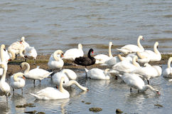 Group Of Swans With Black Swan Royalty Free Stock Photo