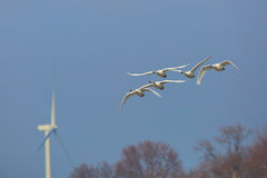 Free Group Of Tundra Swans Migrating Past A Wind Turbine Stock Photos - 52261653