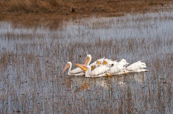 Group Of White Pelicans Stock Photo