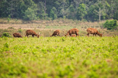 Free Group Of Wild Hog Deer Eating Grass Royalty Free Stock Photo - 51819085