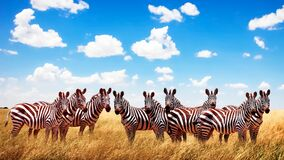 Free Group Of Wild Zebras In The African Savannah Against The Beautiful Blue Sky With White Clouds. Wildlife Of Africa. Tanzania. Royalty Free Stock Images - 173091199