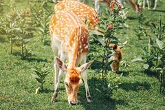 Free Group Of Young Fallow Deer Eating Grass On Summer Outdoor. Herd Animals Dama Dama Feeding Consuming Grazing Plant Food On A Meadow Royalty Free Stock Photo - 202086965