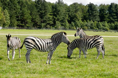 Group Of Zebras Royalty Free Stock Photos