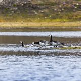 Group off Barnacle goose Stock Images