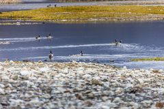 Group off Barnacle goose Stock Photos