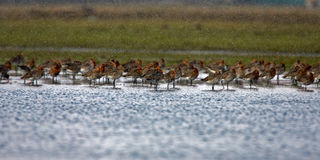Black Tailed Godwit Royalty Free Stock Image