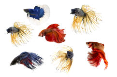 Group ofSiamese fighting fish, Beta fish on white background. Royalty Free Stock Photography