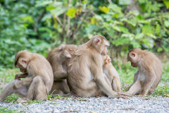 Group og monkey Royalty Free Stock Images