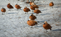 Group of ogar ducks on a snow Stock Images