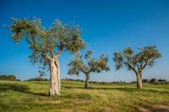 Group of old olive trees Stock Photos