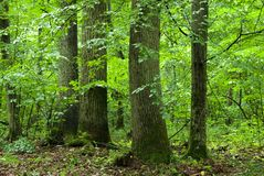 Group of old trees. In summer mixed forest just rain after Royalty Free Stock Image