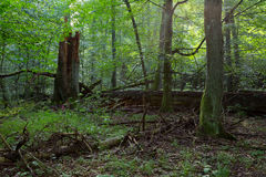 Group of old trees in natural forest royalty free stock image