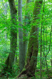 Group of old trees in summer forest Stock Photos