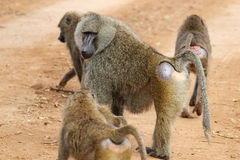 Group of olive baboons (Papio Anubis) Stock Photo