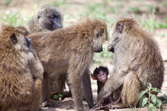 Group of Olive Baboons protecting a baby Royalty Free Stock Photos