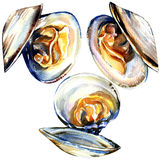 Group of open mussels isolated on white background. Group of open mussels isolated, watercolor painting on white background Royalty Free Stock Image
