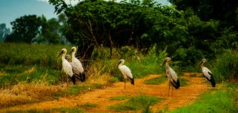 Group of Openbill stork, local birds living in the countryside of Thailand, Uttaradit province. royalty free stock image