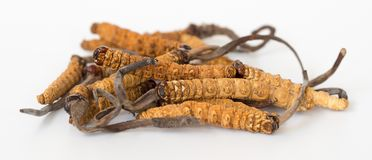 Group of Ophiocordyceps sinensis or mushroom cordyceps this is a herbs on isolated background. Medicinal properties in the treatme. Nt of diseases. National royalty free stock photography