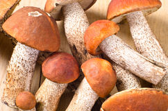 Group of orange cap boletus Stock Images
