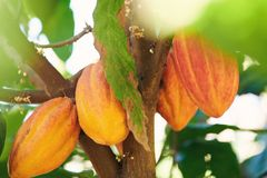 Group of orange color cacao pod. Hang on tree royalty free stock image