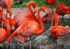 A group of orange colored flamingos royalty free stock photo