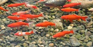 Group of orange-colored koi Stock Photography
