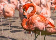 Group of orange flamingo birds Stock Photo