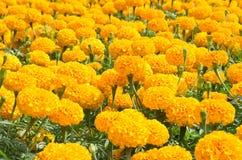 Group of orange flower Royalty Free Stock Images