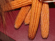 Group of Orange Indian Corns stock images