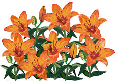 Group of orange lily flowers on white Royalty Free Stock Images