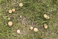 Group of orange mushrooms on a green grass mantle. Group of orange mushrooms on a mantle of green grass to use as background Royalty Free Stock Photo