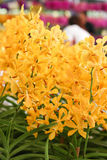 Group of Orange orchid flowers Stock Images