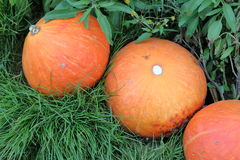 Group of orange pumpkins on grass Stock Photography