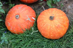Group of orange pumpkins on grass Royalty Free Stock Images
