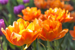 Group of orange terry tulips in the sun Stock Images