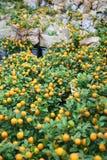 Group of orange trees Royalty Free Stock Image