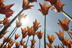 Group of orange tulips. Against the sky. Spring landscape Royalty Free Stock Image