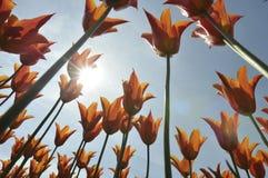 Group of orange tulips Royalty Free Stock Image