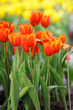 Group of orange tulips Stock Images