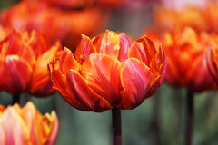 Group of orange variegated multi-petalled tulips grows on a flower bed. Royalty Free Stock Images