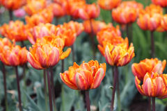 Group of orange variegated multi-petalled tulips grows on a flower bed. Royalty Free Stock Photo