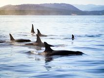 Group of orca killer whales moving together in a costal landscape. Sun is shining, calm sea royalty free stock images