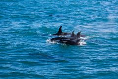 Group of orcas in the water with baby royalty free stock photography